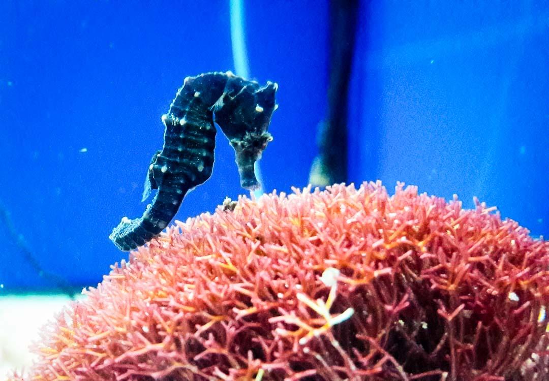 Marine Savers - Fish Lab - seahorse