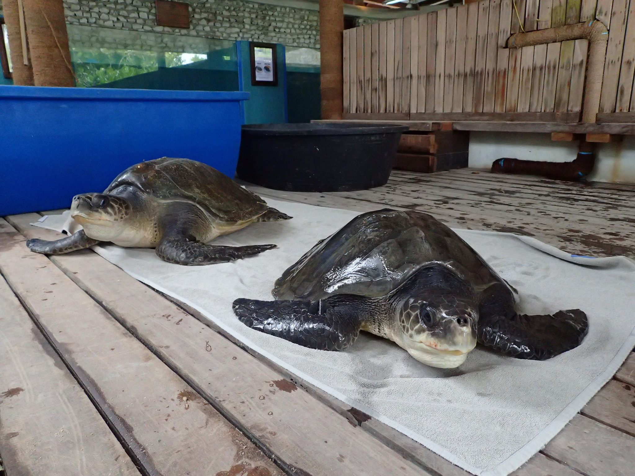 Rescue turtles – Moha (left) and Valentino (right)