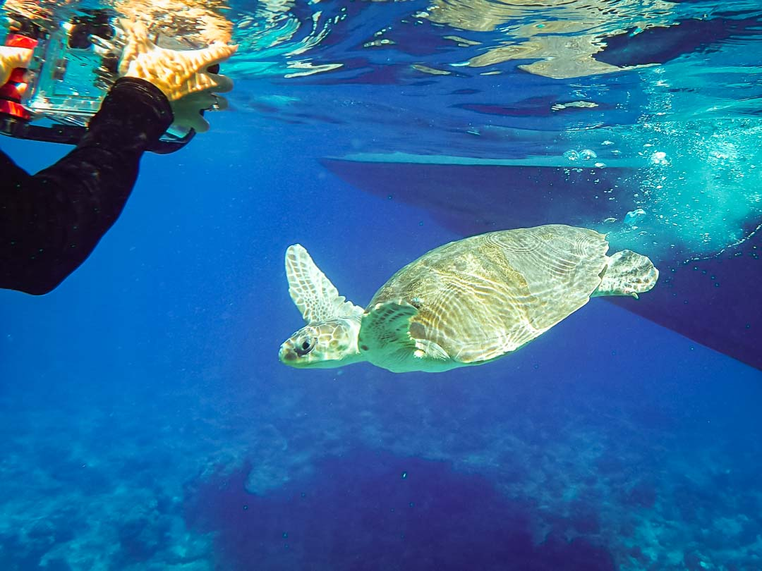 BCD Release (1) - Olive Ridley turtles rescued from ghost nets, Marine Savers Maldives