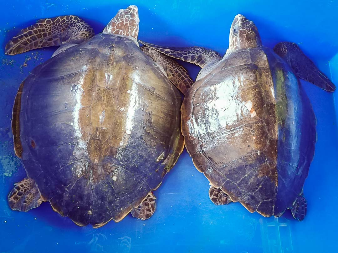 BCD & Valentino Release - Olive Ridley turtles rescued from ghost nets, Marine Savers Maldives