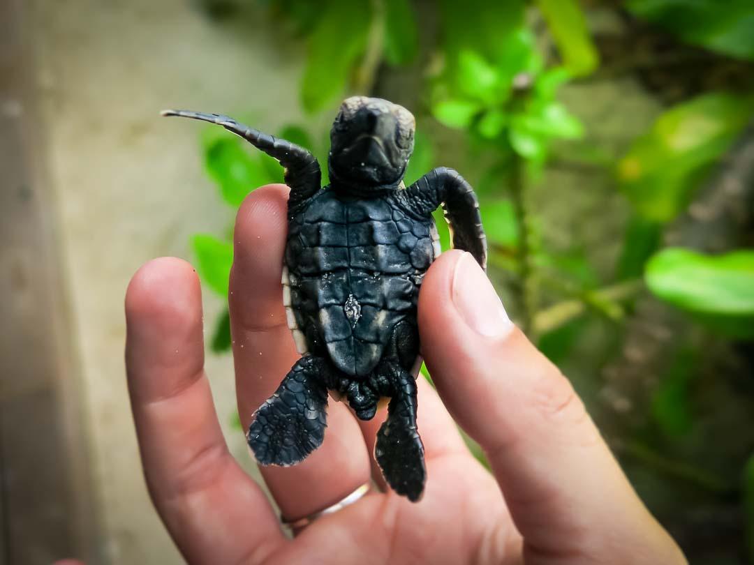 Banana (2) - Hawbskill turtle hatchling Head Start Marine Savers Maldives