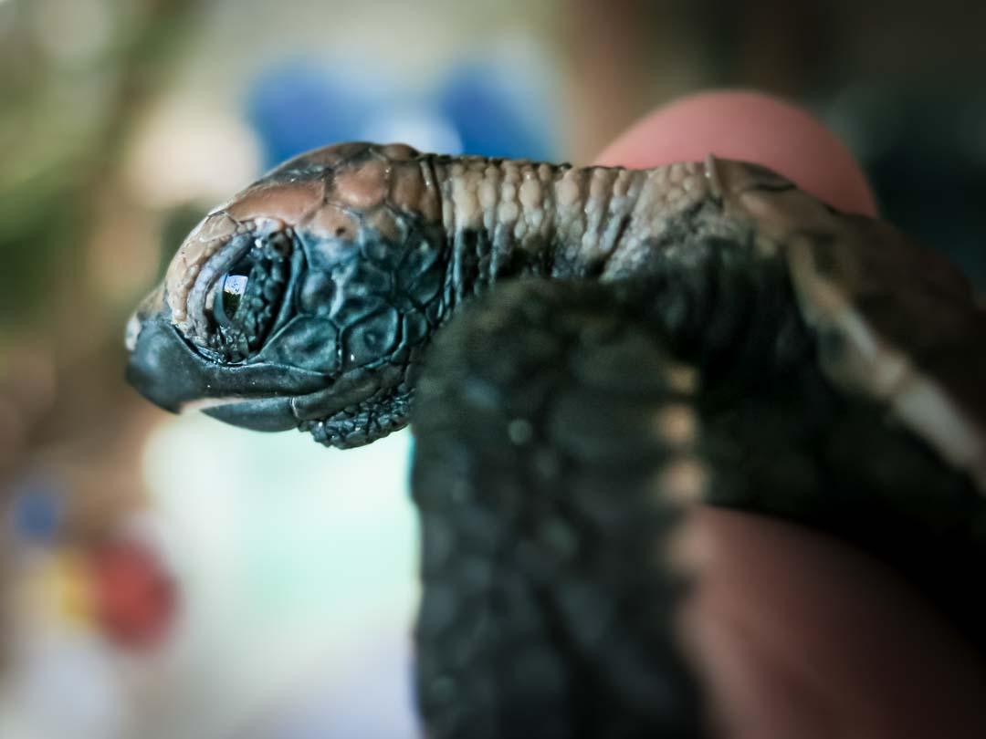 Banana - Hawbskill turtle hatchling Head Start Marine Savers Maldives