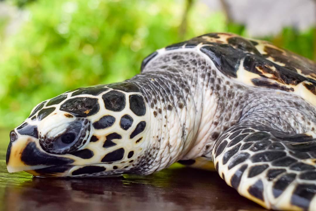 Banana sea turtle centre Marine Savers Maldives