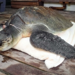 Beybe - Marine Savers Maldives - turtle conservation