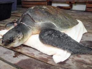 Beybe – Marine Savers Maldives – turtle conservation (Beybe)