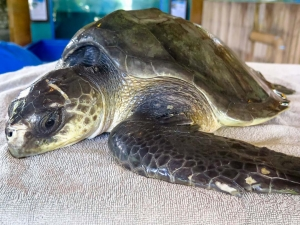 Bones – Olive Ridley Turtles rescued from ghost nets, Marine Savers Maldives (Julie)