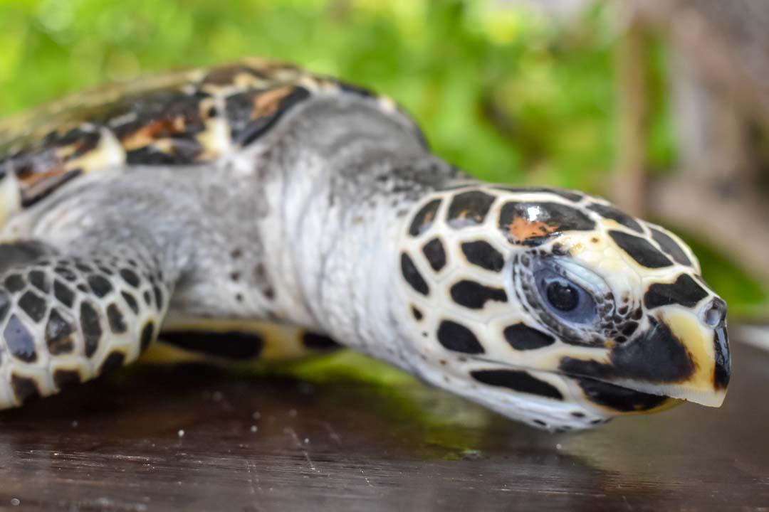 George sea turtle centre Marine Savers Maldives