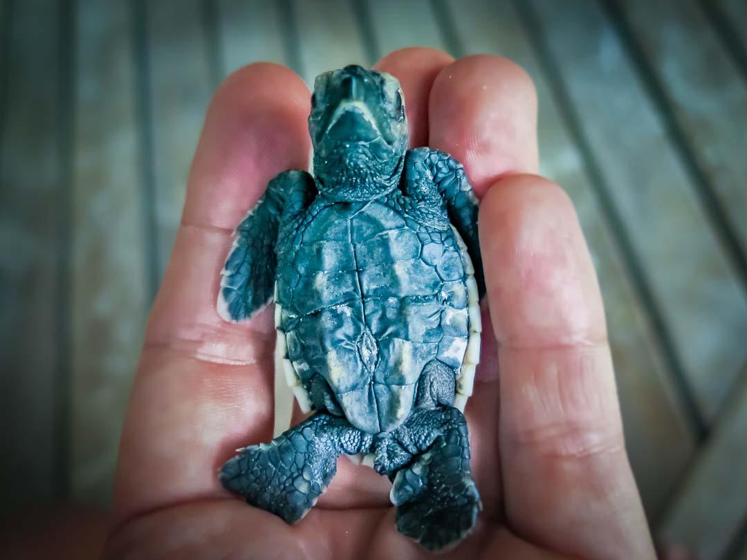 George - Hawbskill turtle hatchling Head Start Marine Savers Maldives