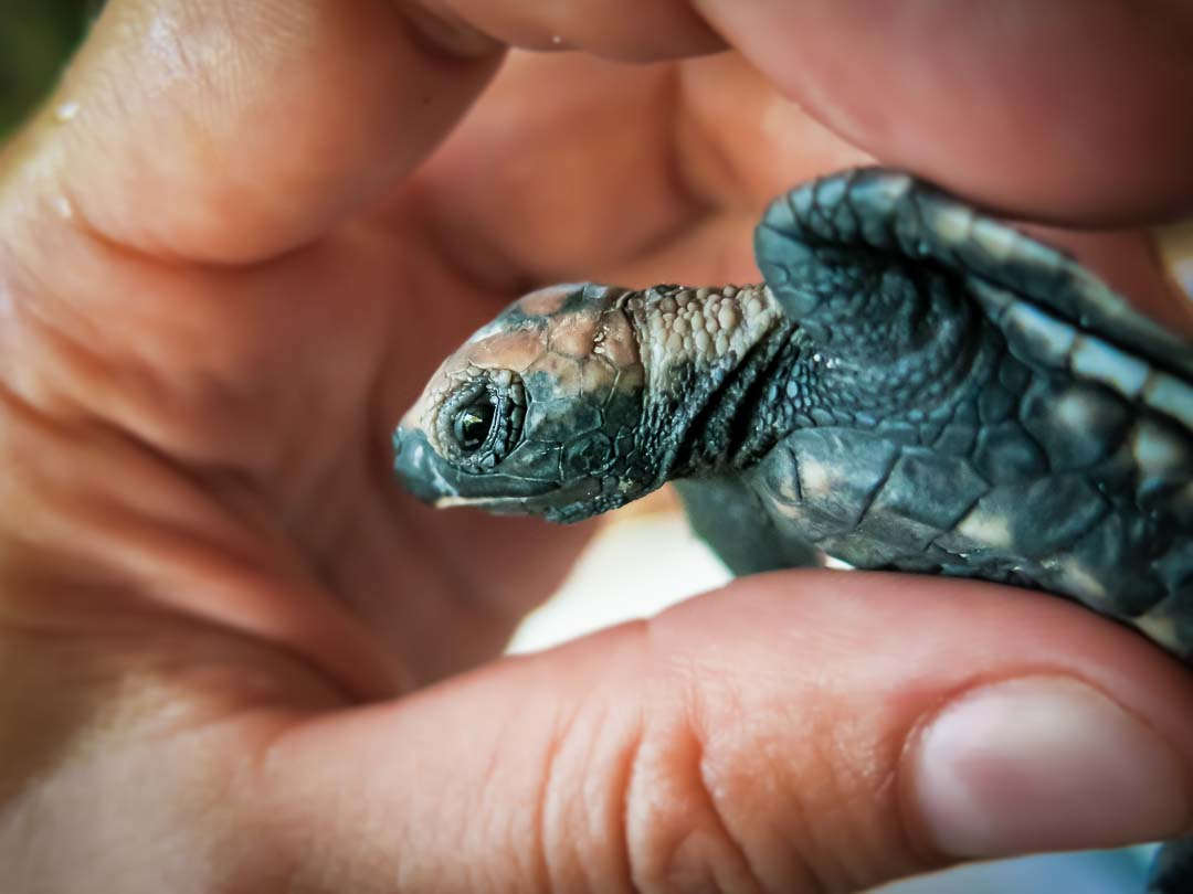 Homer - Hawbskill turtle hatchling Head Start Marine Savers Maldives