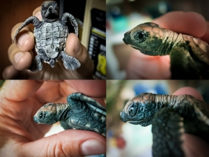 Kuda Huraa Hawksbill turtle hatchlings (March) Head Start Marine Savers Maldives (KH Nest (Mar))