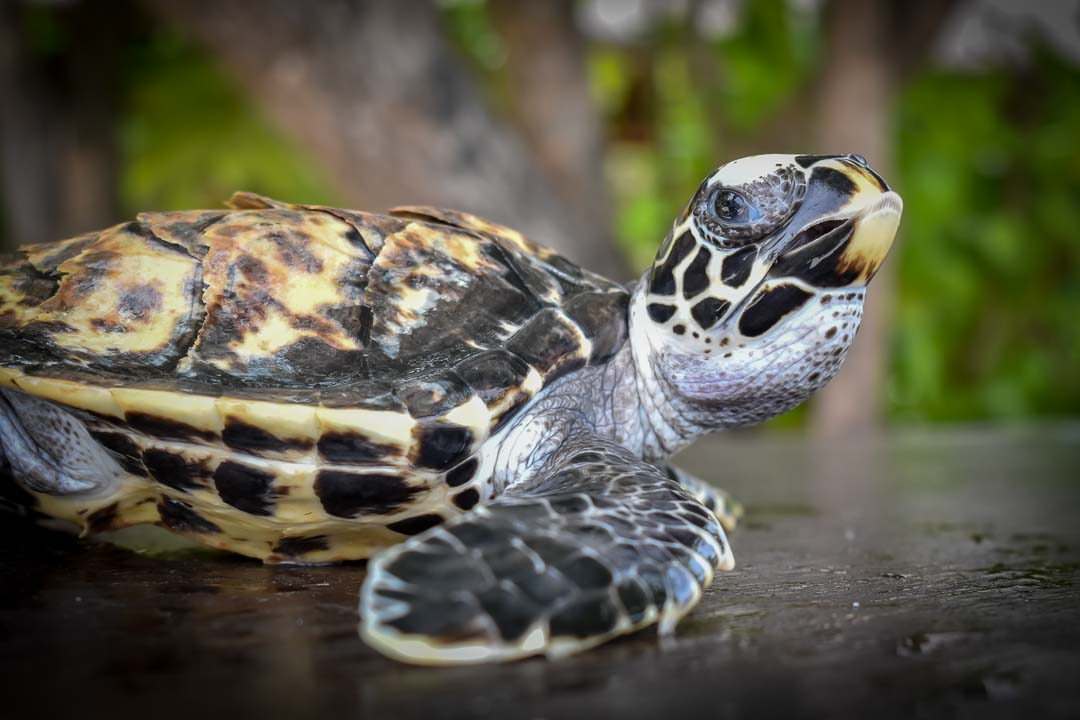 Quasi sea turtle centre Marine Savers Maldives