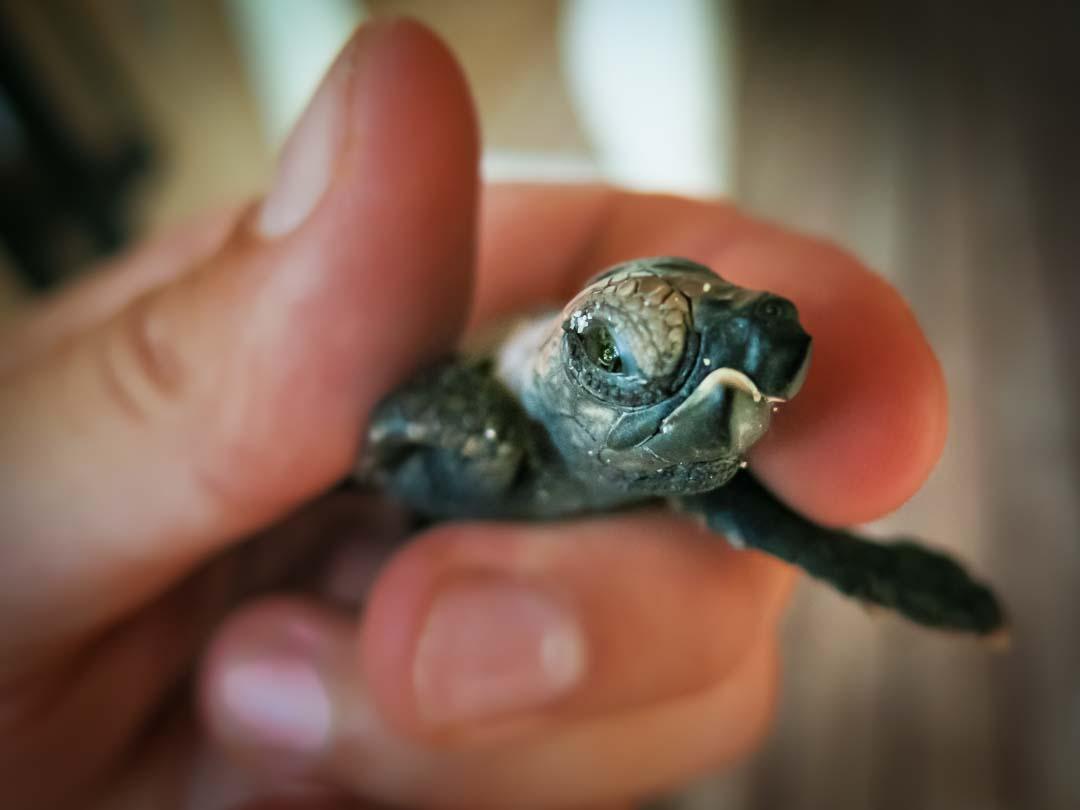 Quasimodo - Hawbskill turtle hatchling Head Start Marine Savers Maldives