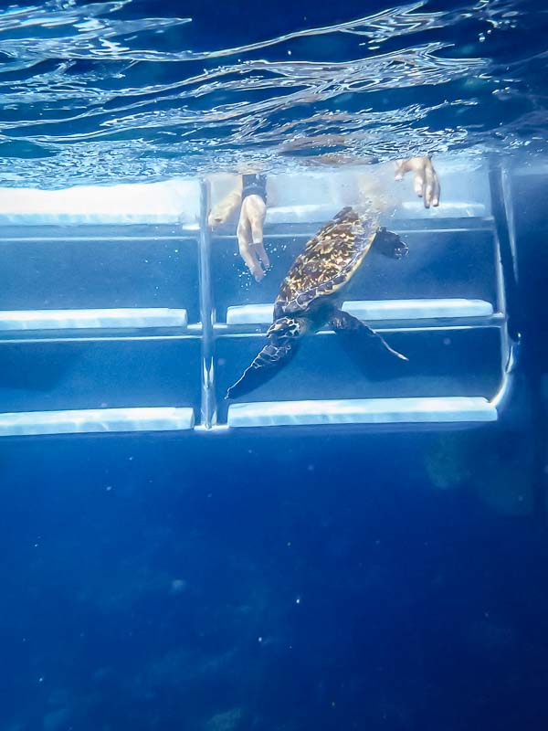 Sea turtle conservation - Marine Savers Maldives (Poppy)