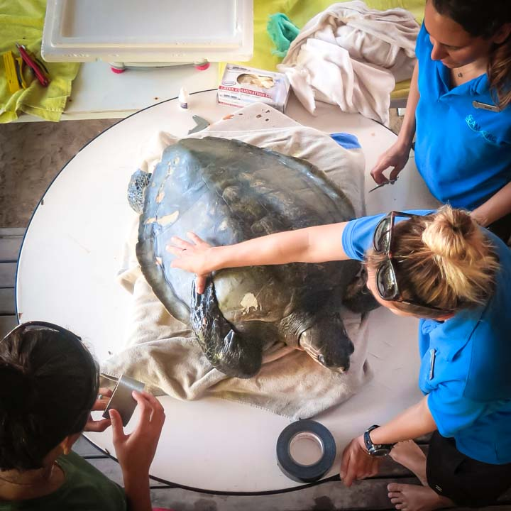 Susy (1) - Olive Ridley turtles rescued from ghost nets, Marine Savers Maldives