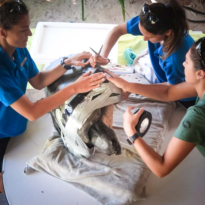 Susy (2) - Olive Ridley turtles rescued from ghost nets, Marine Savers Maldives