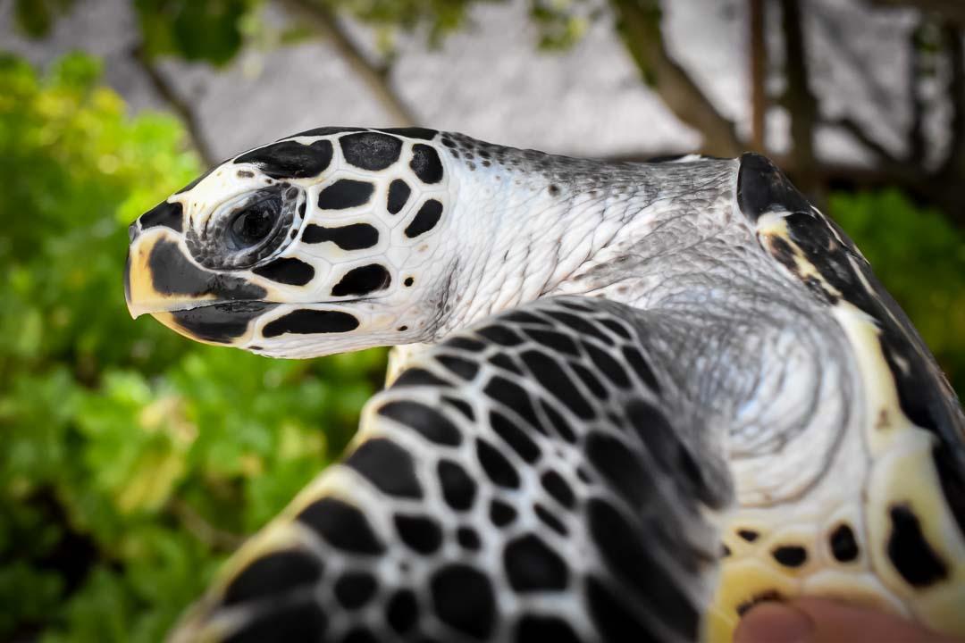 Homer sea turtle centre Marine Savers Maldives