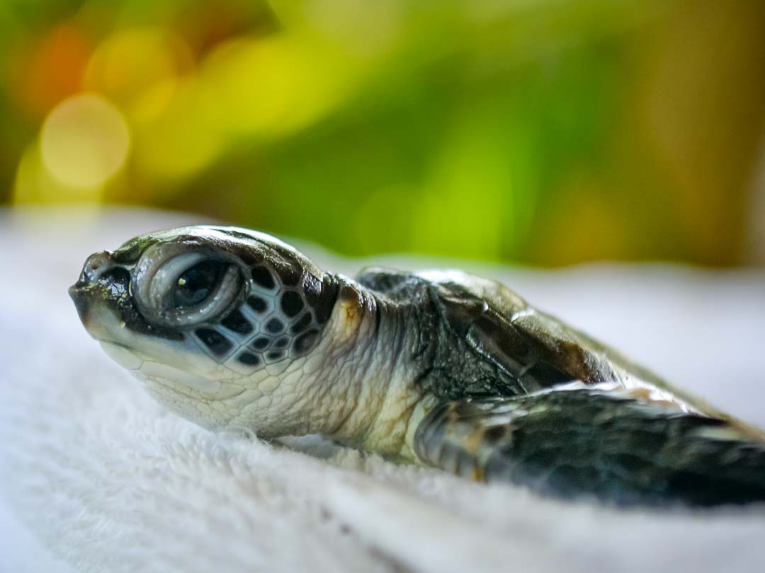 Green sea turtle hatchlings - Marine Savers Maldives (CM115-117)
