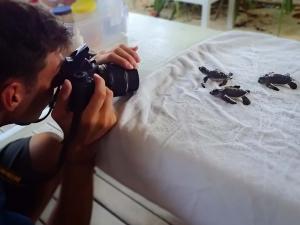 Green sea turtle hatchlings – Marine Savers Maldives (CM115-117) (Amilla Fushi Hatchlings)