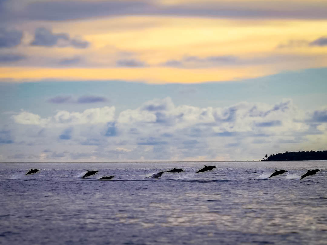 Dolphins at sunset - Marine Savers Maldives