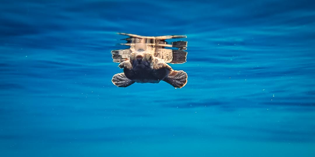 Hannah Internship - A released hatchling taking off into the big blue - Marine Savers Maldives
