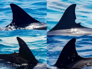 Dolphin dorsal fin ID photos Marine Savers Maldives