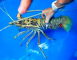 lobster with eggs – Fish Lab Marine Savers Maldives (Marine Life – Lab and Ocean)