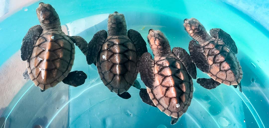 Irene's internship - sea turtle hatchlings - Marine Savers Maldives