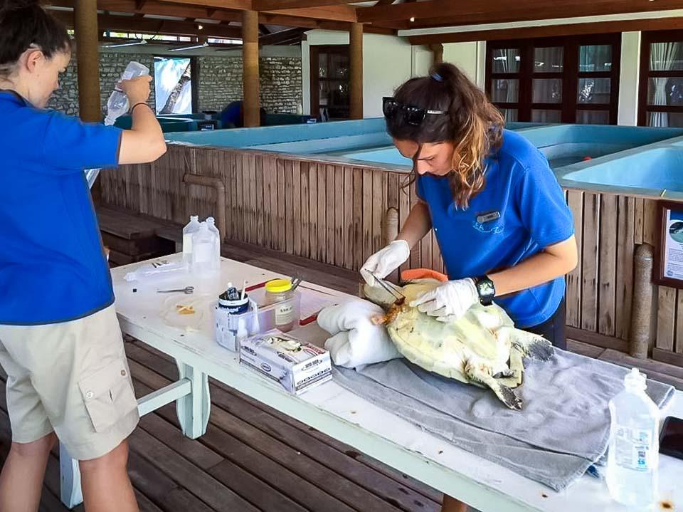 Irene's internship - sea turtle rehabilitation - Marine Savers Maldives