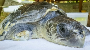 Luc – Olive Ridley rescue turtle amputee – Marine Savers Maldives (Luc)