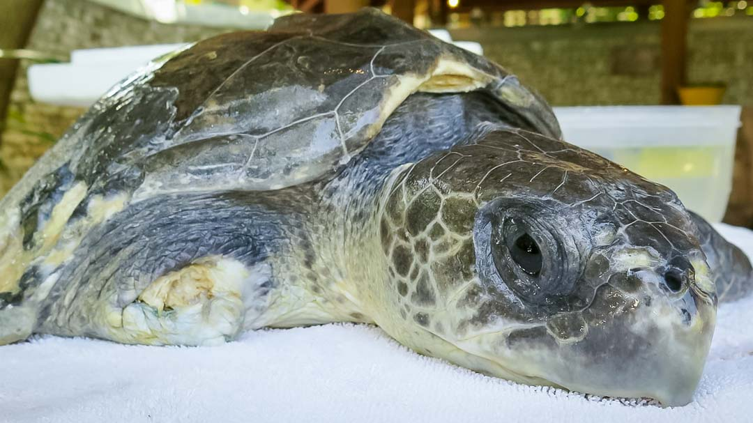 Luc - Olive Ridley rescue turtle amputee - Marine Savers Maldives