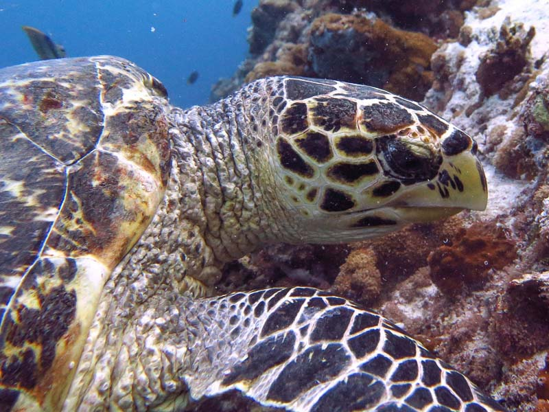 Turtle ID Hawksbill 'Dagi' [EI0898] at Triton Thila, Maldives (03-Apr-17)