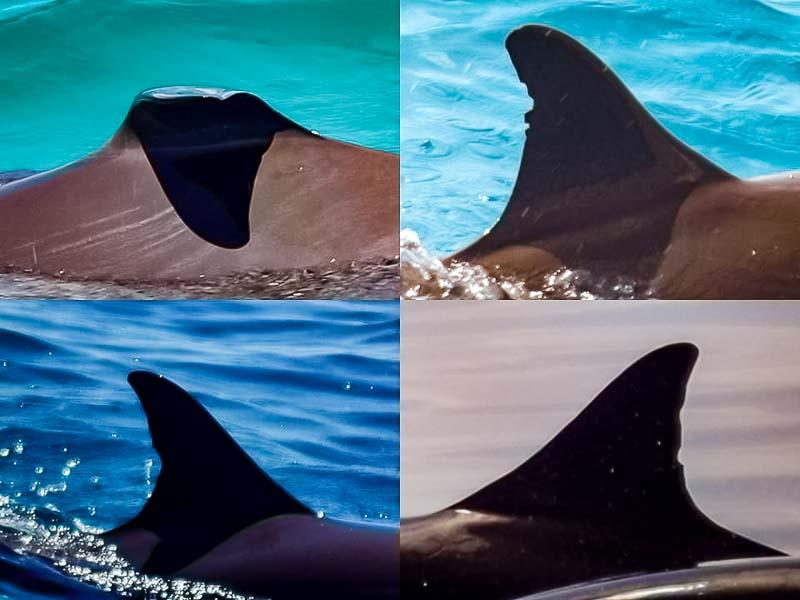 Dolphin Identification photos Marine Savers Maldives