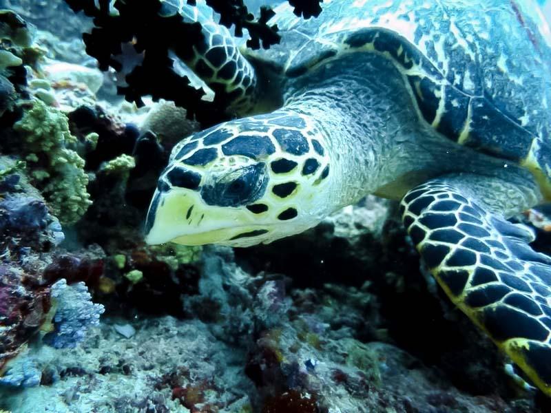 Hawksbill Turtle 'Sunny Boy' [EI0940] at Kandooma Thila, S.Male Atoll, Maldives