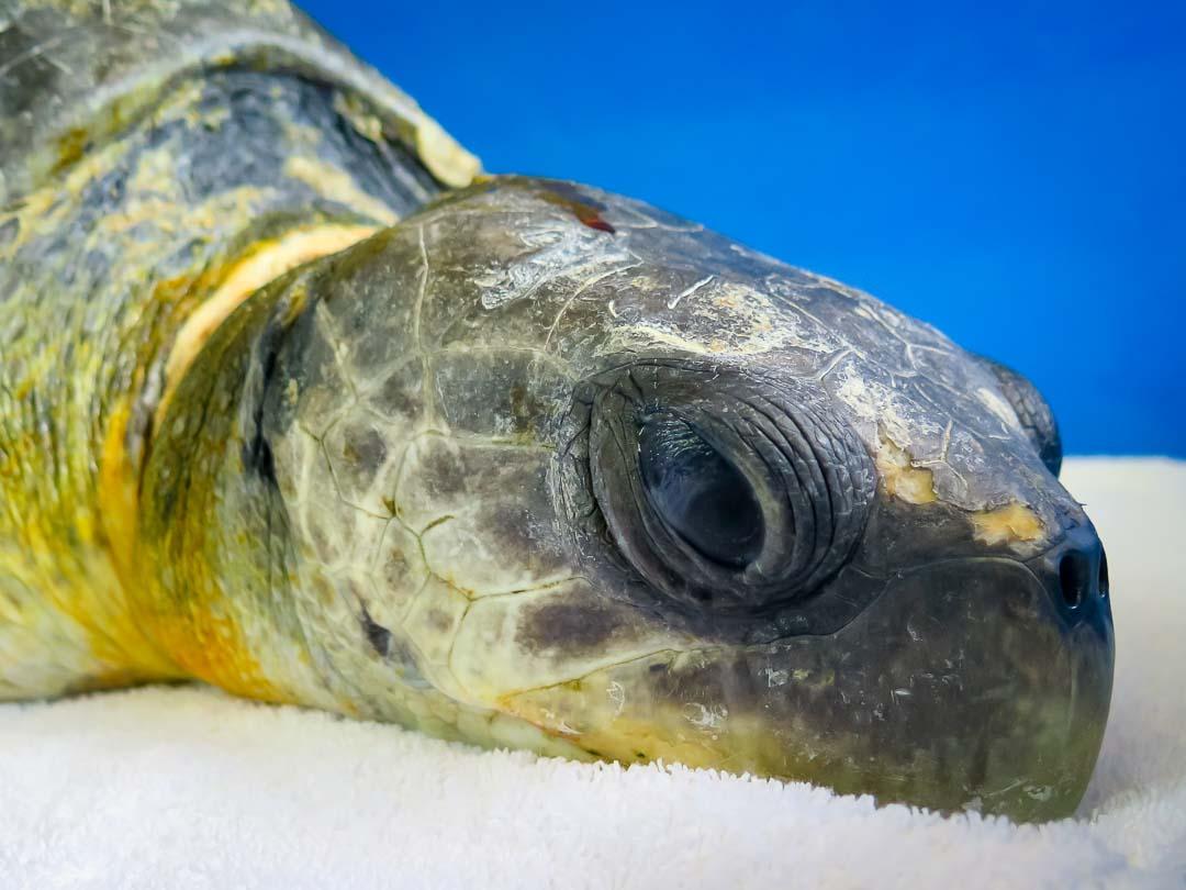Kaidha - rescue turtle - Marine Savers Maldives