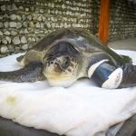 Molly - rescue turtle - Marine Savers Maldives