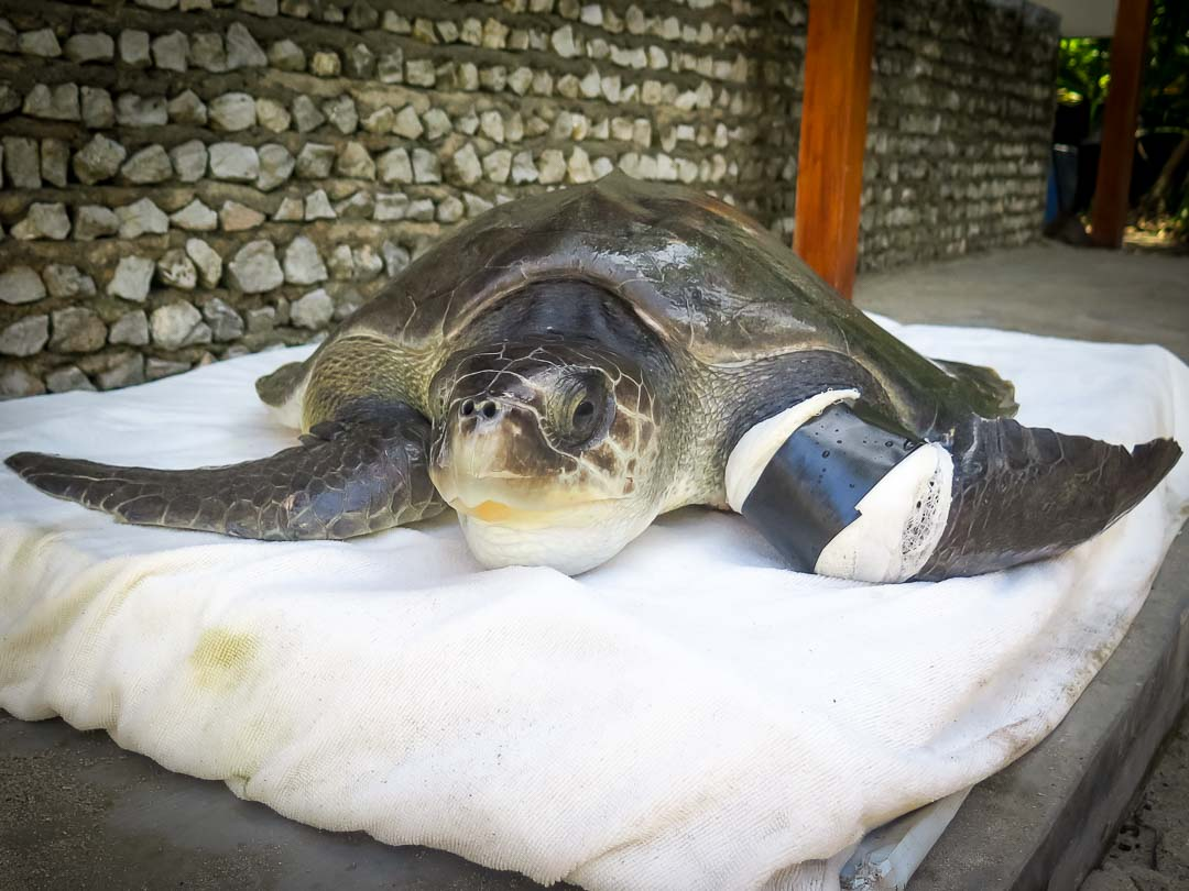 Molly - rescue turtle - Marine Savers Maldives
