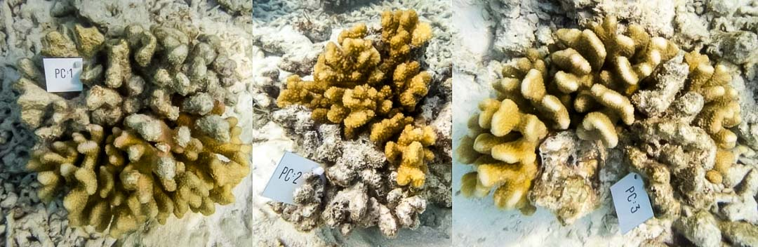 Reefscapers experiment - wild coral colonies under observation