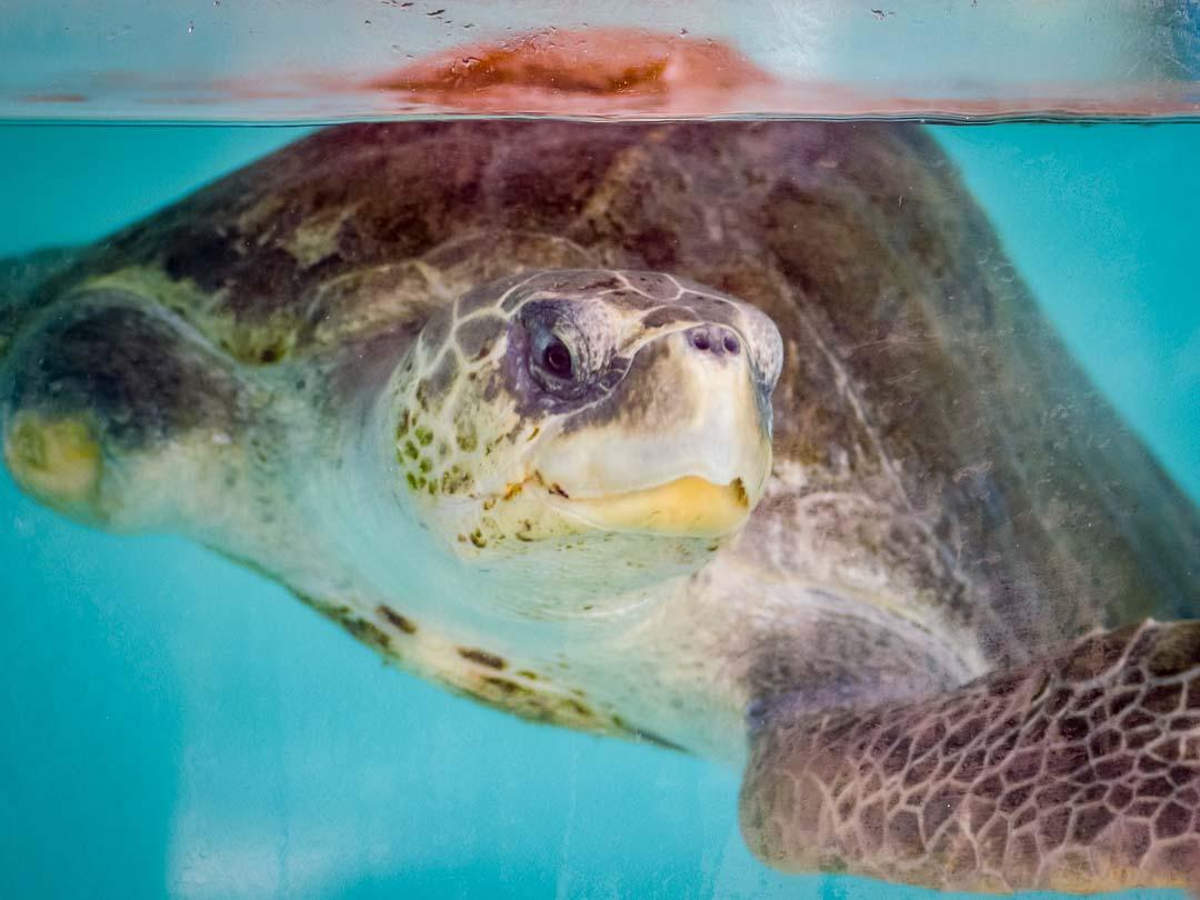 Eeevee - rescue turtle Marine Savers Maldives
