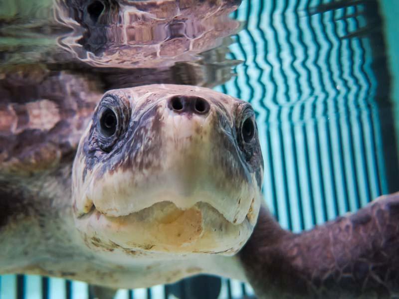 Eevee - rescue Olive Ridley turtle - Marine Savers Maldives