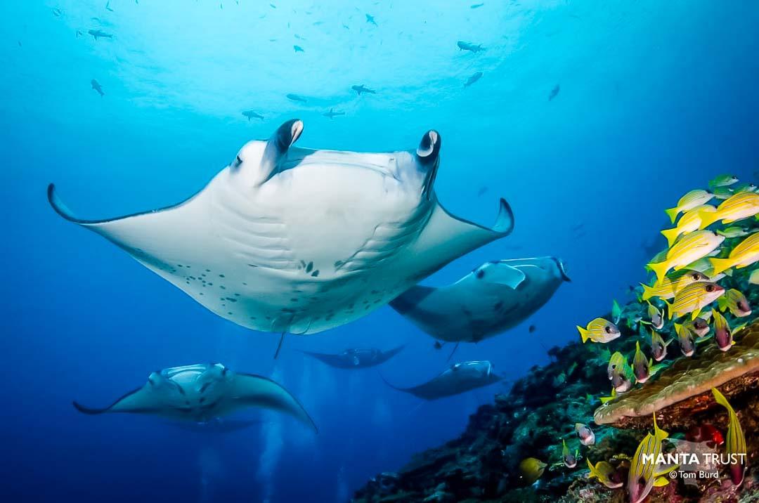 Irene internship - Manta Trust, Ari Atoll - Marine Savers Maldives