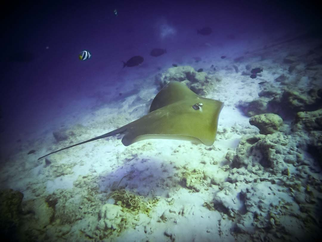 Irene internship - sting ray - Marine Savers Maldives (4) photo Sophie