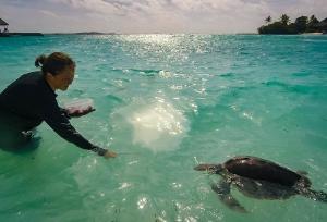 Rescued olive ridley turtle 'Juanita' Marine Savers Maldives (Juanita)