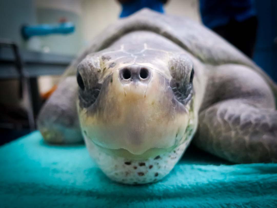 Satellite tagged turtle Eevee Marine Savers Maldives (02) [1703]