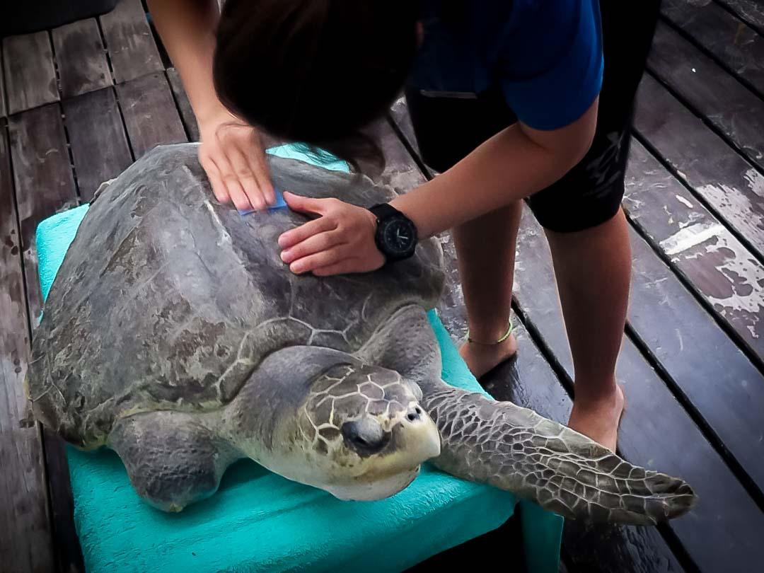 Satellite tagged turtle Eevee Marine Savers Maldives (03) []