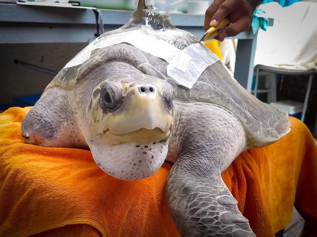 Satellite tagged turtle Eevee Marine Savers Maldives (05) []