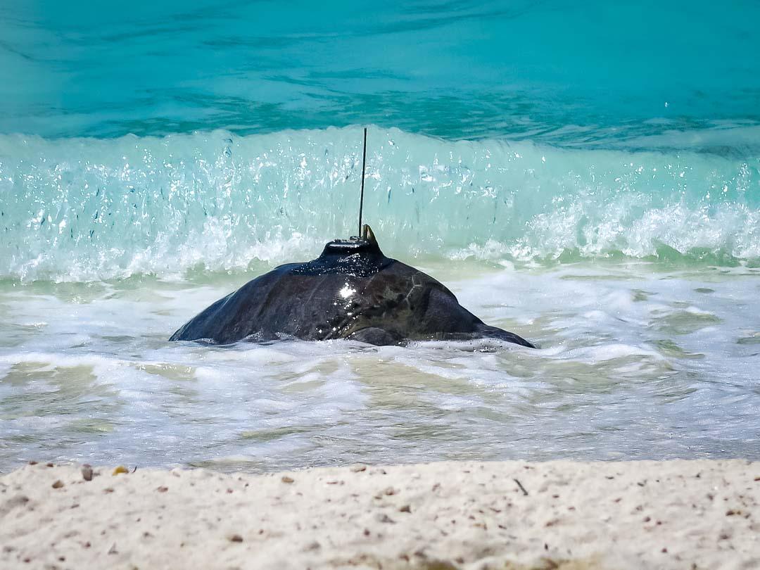Satellite tagged turtle Eevee Marine Savers Maldives (08) []