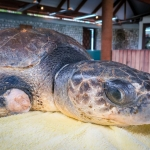 Thakuru - rescue turtle - Marine Savers Maldives