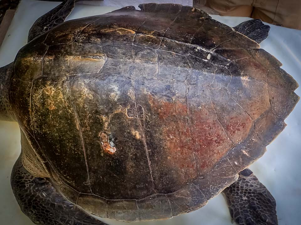 Rescued olive ridley turtle 'Thakuru' [RB.LO.116]