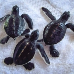 Head Start Green turtle hatchlings - CM nest (6137)