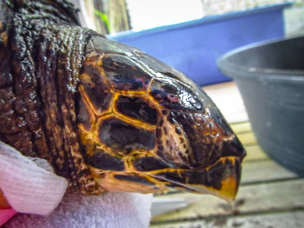Stomps - juvenile hawksbill rescue turtle Marine Savers Maldives (2)